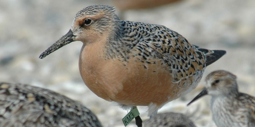 red-knot