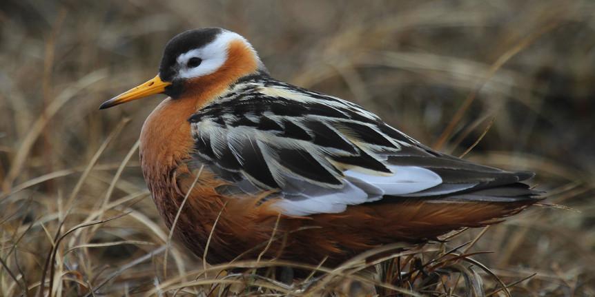 red-necked-phalarope