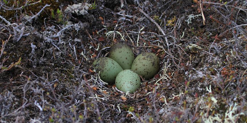 whimbrel-nest-brad-winn