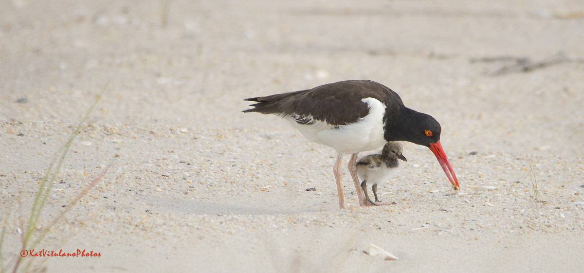 American Oystercatcher and chick. Kat Vitulano