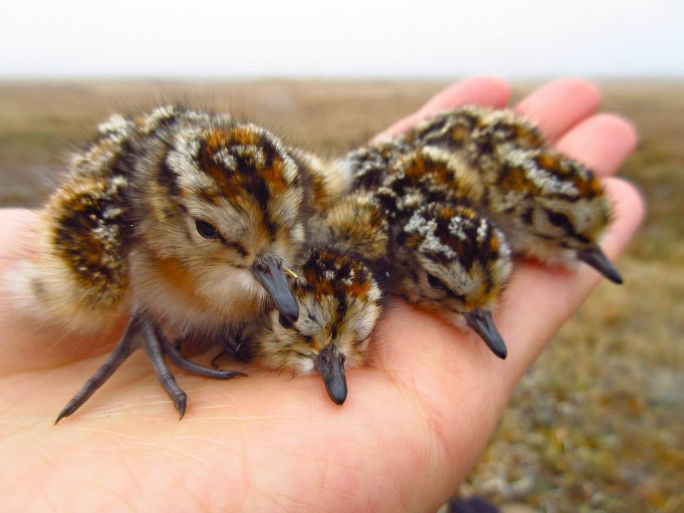 Semipalmated Sandpiper chicks. Jenny Cunningham
