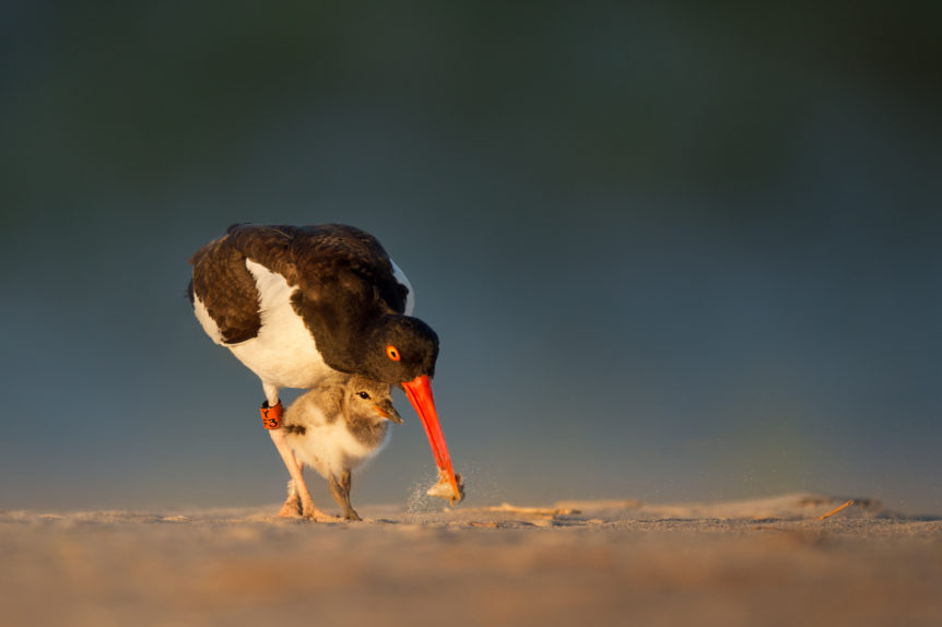 American Oystercatcher and chick. ©Ray Hennessey