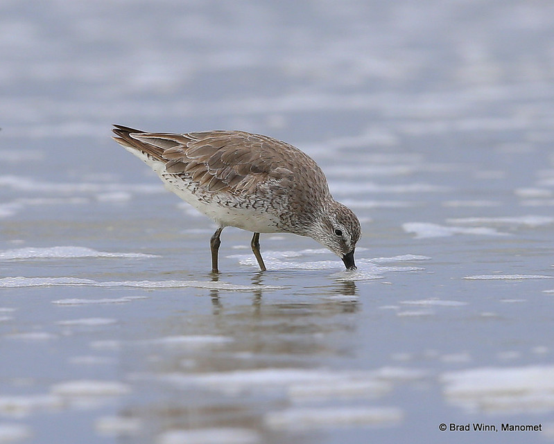 Wintering Red Knot. Brad Winn
