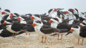 Black Skimmers. Colleen Prieto, Creative Commons