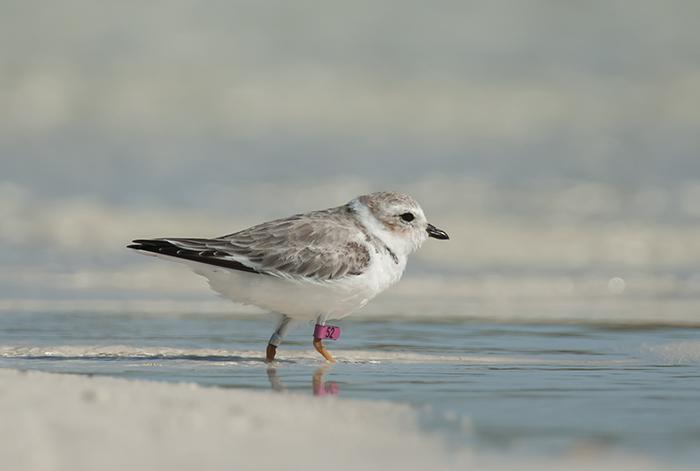 Banded Piping Plover. Matt Jeffery