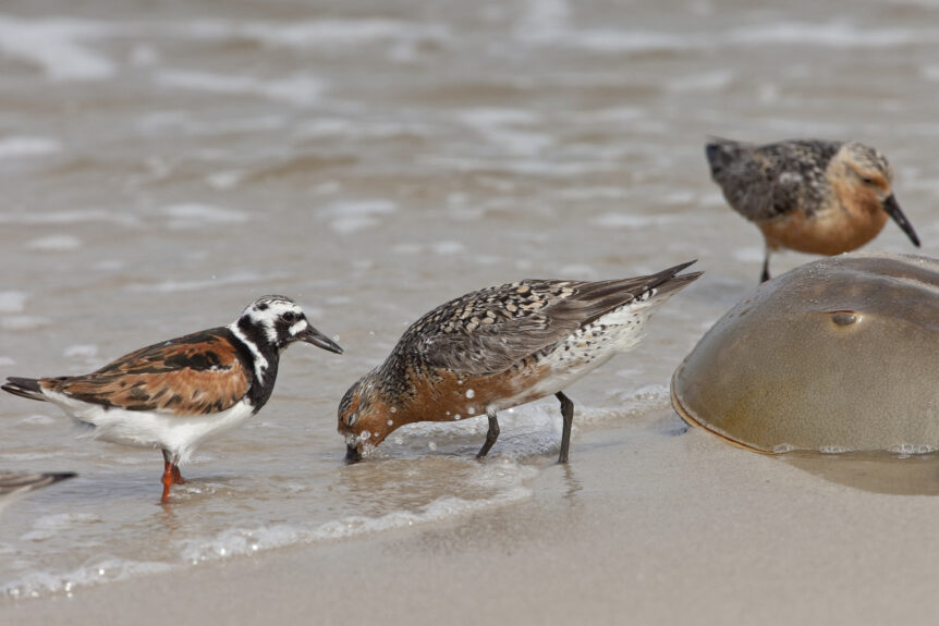 Shorebirds feeding. NJ Audubon