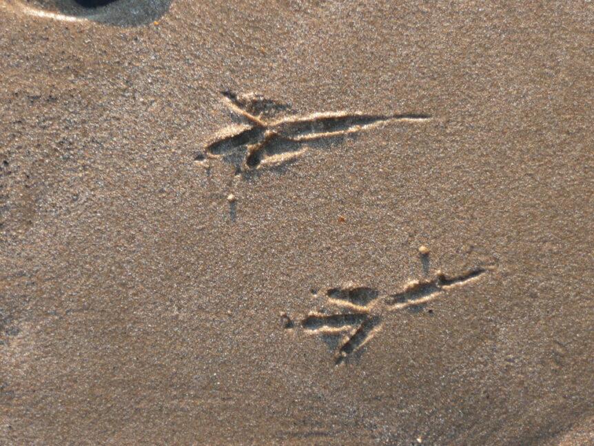 Crow Tracks. Creative Commons